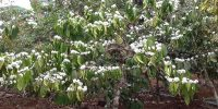 Mondulkiri coffee plantation