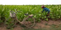 Tabacco plantation
